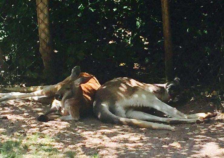 Lounging Kangaroos