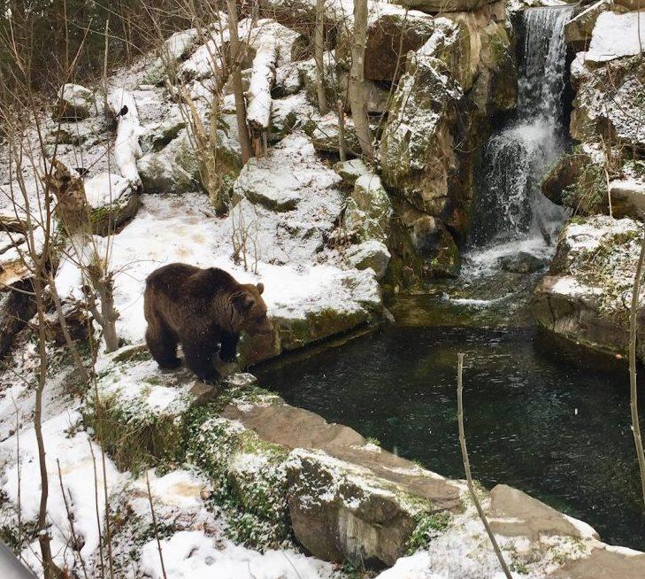 Bear in his snow habitat